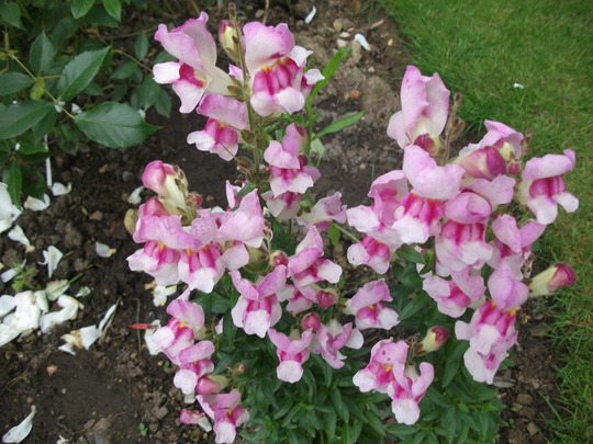 Antirrhinum ( Snap dragon) Antiodora 'Light Pink' (Antirrhinum 'Antirodora Pink')