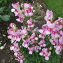 Antirrhinum_snapdragon_antirodora_light_pink_