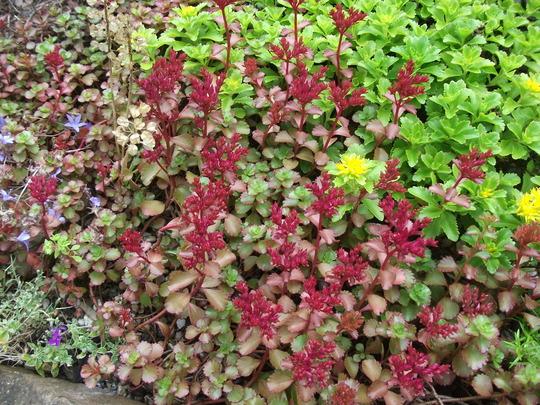 Sedum spurium purpurteppich (Phedimus spurius)