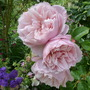 Rose 'The Generous Gardener' (Rosa 'The Generous Gardener')
