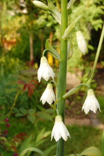 Galtonia candicans (Galtonia candicans)