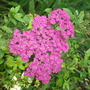 Achillea millefolium Pretty Belinda (Achillea millefolium &#x27; Pretty Belinda&#x27;)