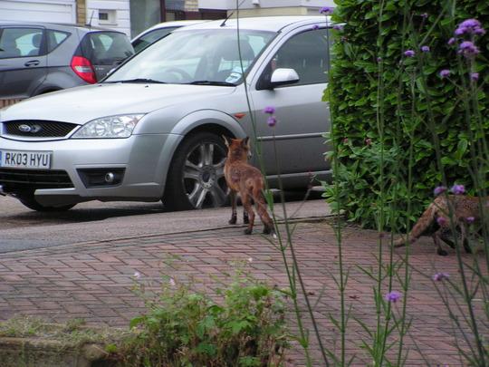 mummy fox and her cub