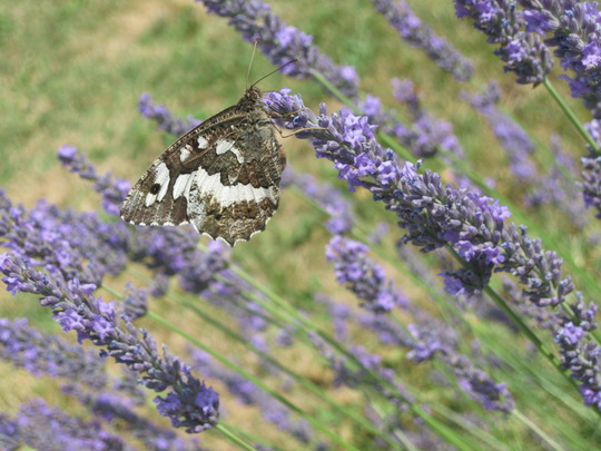 A mystery butterfly on lavender in France
