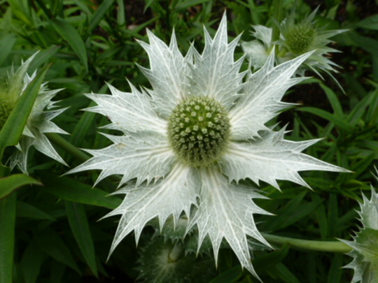 Eryngium ' Miss Willmotts Ghost '