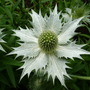 Eryngium_miss_willmotts_ghost_