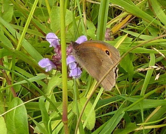 Meadow Brown on Self heal