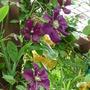 Clematis - Etoile de Violette (Clematis viticella (Viticella Group clematis))