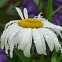 Shasta Daisy - Leucanthemum (Leucanthemum x superbum (Shasta daisy))