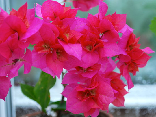 Bourgainvillea Red.... (bourgainvillea Mahara Red.)