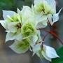 Bourgainvillea White.... (Bougainvillea glabra (Lesser Bougainvillea))