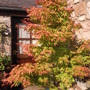 Acer just stopped by to say hi (Acer palmatum (Japanese maple))
