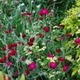 Lychnis coronaria, feverfew, astrantia in border.. (Lychnis coronaria (Rose campion) Pink and white.)