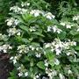 Hydrangea 'Lanarth' - 2012 (Hydrangea serrata)