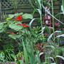 Crocosmia Lucifer and Arundo Donax in tropical garden... (Crocosmia x crocosmiiflora (Montbretia) Lucifer.)
