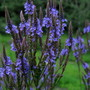 Blue Vervain (Verbena hastata (Blue Vervain))