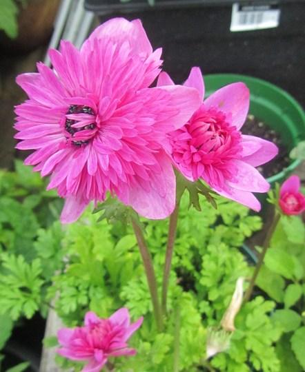 Double Anemone Coronaria 'St Brigid'