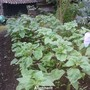 Allotment_sunflowers_mixed_behind_shed_04_07_2012
