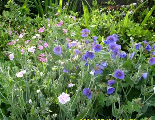 A Flowery Mingle, Geraniums and Lychnis Coronaria