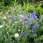 A Flowery Mingle, Geraniums and Lychnis Coronaria