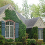 Ivy Clad Cottage (Parthenocissus tricuspidata (Boston ivy))
