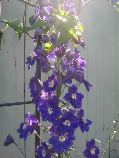 clematis getting acquainted with the delphinium (Delphinium elatum (Delphinium))
