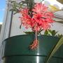 Hibiscus schizopetalus - Japanese Lantern Hibiscus