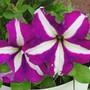 Bravo Purple Star Petunia