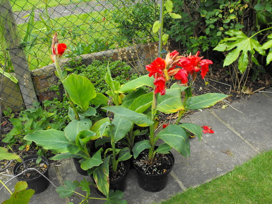 Canna's...destroyed by rain............tut