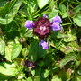Self-heal (Prunella vulgaris) - for my records