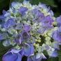 Hydrangea_purple_work_shop
