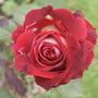 Rosa osiria  (J.Parker 9 yrs ago)