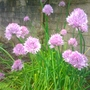 Allium schoenoprasum (Chives)