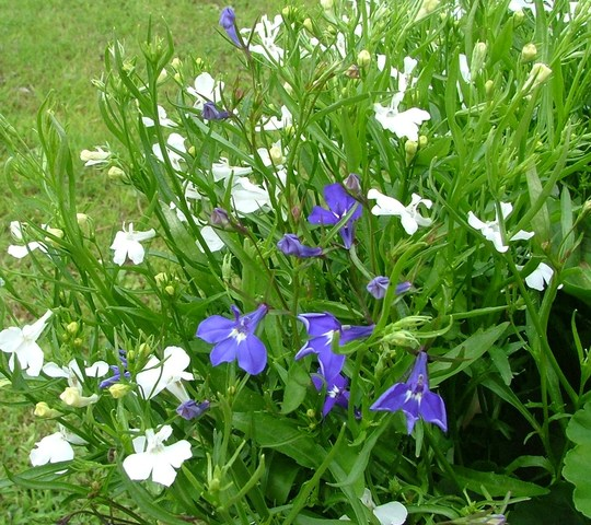 blue and white labelia