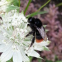 Bombus lapidarius - red tailed bumble bee