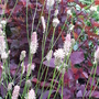 Sanguisorba officinalis 'Pink Tanna' (Sanguisorba officinalis 'Pink Tanna')