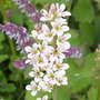 Francoa Sonchifolia(bridal wreath) (Francoa sonchifolia (Bridal Wreath))