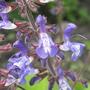 Salvia Forsskaolii (wood sage) (Salvia forsskaolii)