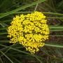 Achillea filipendulina Gold Plate (Achillea filipendulina)