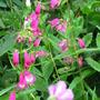 Penstemon 'Minibird Lavender' (Penstemon 'Minibird Lavender')