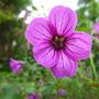 Geranium 'Sue Crug' (Geranium 'Sue Crug')