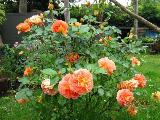 Rosa Amber Queen  (Rosa 'Amber Queen')