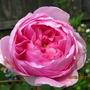 Rosa 'Geoff Hamilton' (Rosa 'Geoff Hamilton')