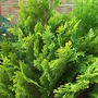 Chamaecyparis lawsoniana 'Lane' for my records (Chamaecyparis lawsoniana 'Lane')