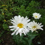 Leucanthemum shasta daisy (Leucanthemum)