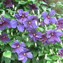 Clematis jackmanii