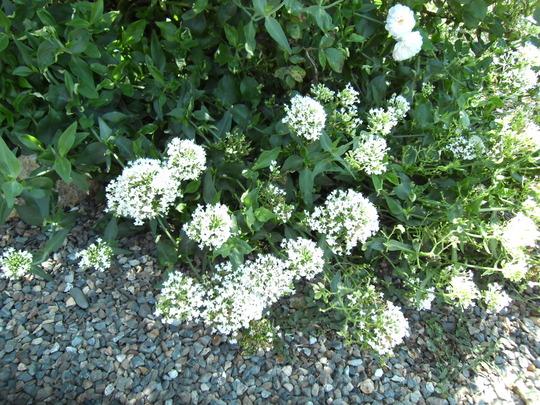 White Valerian (Centranthus ruber 'Albus')
