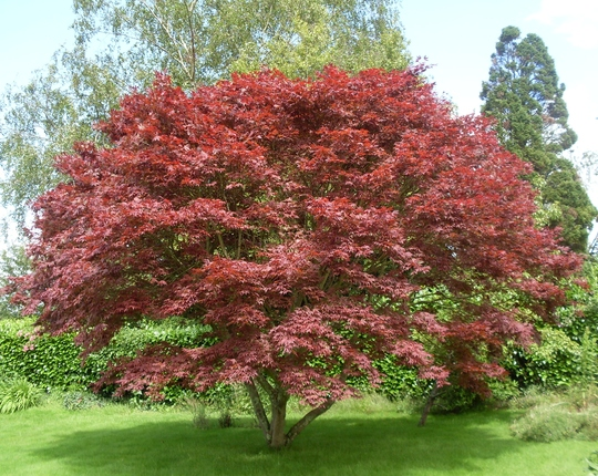 A Beautiful Acer