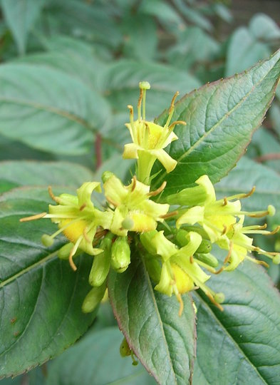 Diervilla sessilifolia (Diervilla sessilifolia)