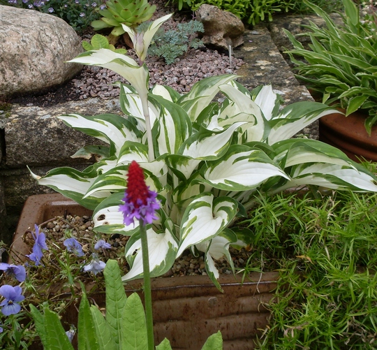 Hosta Fire & Ice & Primula Vialli